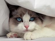 网红动物布偶猫图片壁纸