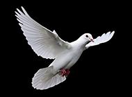 自由飞行的信鸽图片欣赏