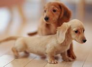 迷你腊肠犬可爱居家特写图片