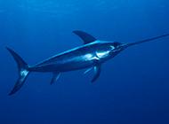 游姿優美的南方淡水旗魚圖片