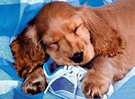 可卡犬甜美睡姿的圖片