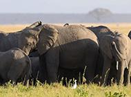 大象围成一圈保护母象分娩