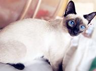 漂亮的純種暹羅貓圖片