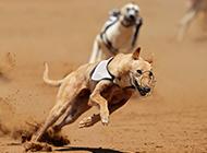 靈緹犬沙場帥氣奔跑圖片