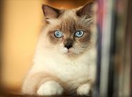 泰國暹羅貓美麗高貴圖片