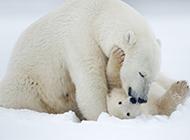 可愛呆萌的北極熊圖片