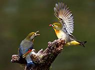 鸣声动人的相思鸟图片