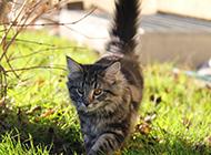 可爱挪威森林猫壁纸高清精选