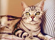 英国短毛渐层银虎斑猫图片神气十足