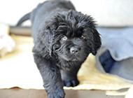 小紐芬蘭犬姿態可愛圖片