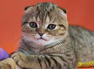 可爱迷人的虎斑折耳猫图片