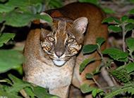婆羅洲金貓野外狩獵圖片