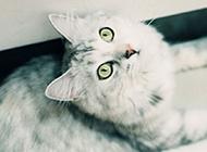 宠物挪威森林猫图仰头卖萌