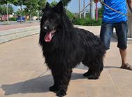 兇猛高大的黑熊犬圖片