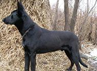 大黑狼犬身躯高大威猛图片