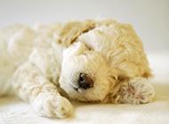 買萌小白狗圖片 沉睡的白色貴賓犬