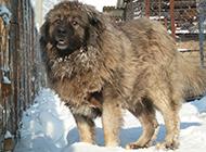 长毛高加索犬雪地行走图片