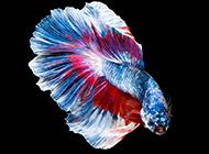 美麗的彩色金魚圖片素材