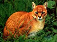 亞洲金貓眼神犀利圖片