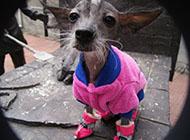 中国冠毛犬小巧外观图片