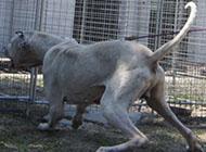 庫達犬兇猛對峙圖片