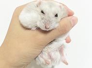淺灰色奶茶倉鼠圖片大全
