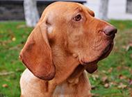 聰穎能干的尋血獵犬圖片