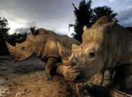 非洲黑犀牛野活泼物图片