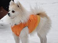 眼神坚定的狐狸犬图片