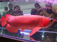 最貴紅龍魚供人觀賞圖片