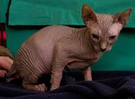 霸气十足的斯芬克斯猫图片