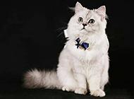 蓝色金吉拉猫俏皮可爱写真图片