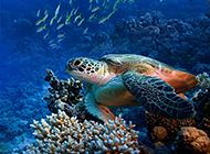 海底世界里可爱的海龟图片