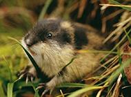 北極旅鼠草地覓食圖片