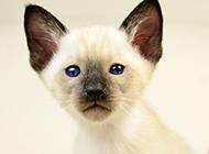 淡紫色暹羅貓高清圖片壁紙
