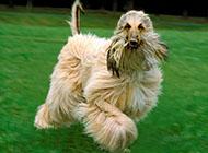 阿富汗猎犬奔跑玩耍图片