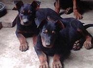 三個月的可愛蘇聯紅犬圖片