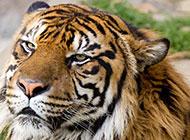 凶猛的老虎头部特写图片