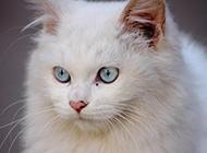 普通蓝眼白猫认真严肃的图片