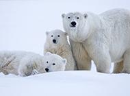 三只可愛的北極熊圖片