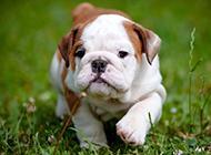 意气高昂的斗牛犬幼犬图片