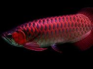 漂亮的紅龍魚鱗片發色圖片