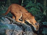 動作靈巧敏捷的紅金貓圖片