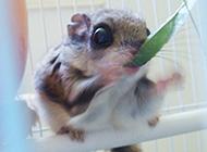 日本小鼯鼠喂养植物图片