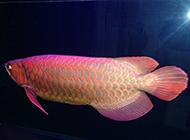 黃金紅龍魚悠然戲水圖片