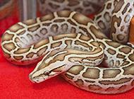 凶猛的美国缅甸蟒蛇高清特写