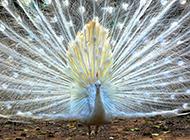 骄傲高贵的孔雀图片欣赏