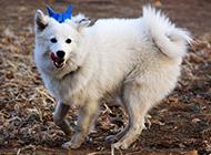 白狐狸犬荒地玩耍抓拍图片
