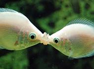 奇特的鱼类接吻鱼接吻图片