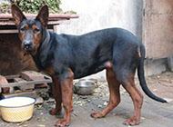 莱州红犬粗犷外型图片
